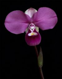 JANE LINDSAY HOMEOPATHY - FOCUS ON PHRAGMIPEDIUM